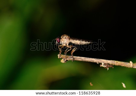 beautiful robber fly waiting for food