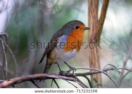 Beautiful Robin. Wild fauna, birds