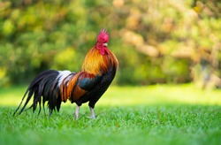 Beautiful Rooster standing on the grass in blurred nature green background.Concept like a boss. cool man.The winner.The greatest fighter.Rooster zodiac year.Year of rooster.
