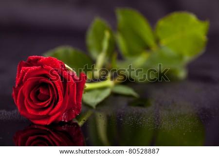beautiful rose, - stock photo