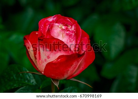 Beautiful rose blooms after rainfall, in Washington Park International Rose Test Garden, Portland, Oregon. #670998169