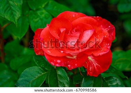 Beautiful rose blooms after rainfall, in Washington Park International Rose Test Garden, Portland, Oregon. #670998586