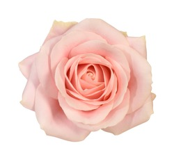 Beautiful rose blossom on white background