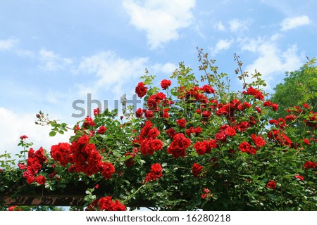 Beautiful rose bush against blue sky with white clouds