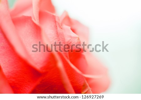 Beautiful rose close-up as background