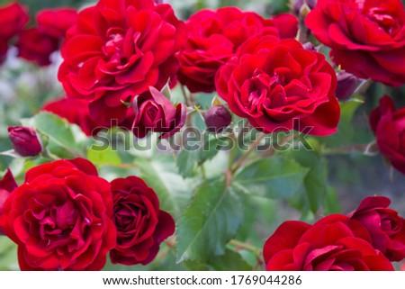 Beautiful rose flower in garden. Rose flower background. Roses flower texture. Lovely rose. Roses in tropical garden.  Red rose.