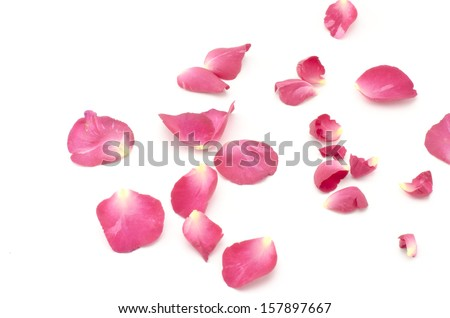 beautiful rose flower isolated on white background #157897667
