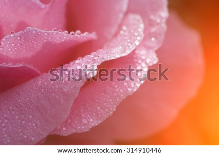 Beautiful rose flower with drops of dew