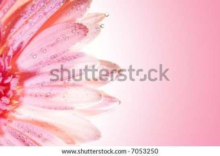 Beautiful rose flower with water drops on petals