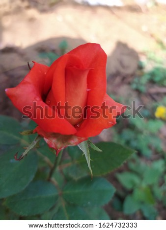 beautiful rose for beautiful girls