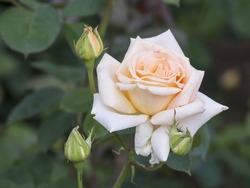 Beautiful rose in bloom