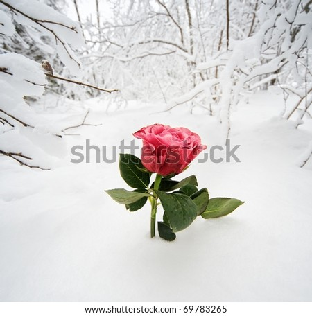 Beautiful rose in the snow - stock photo