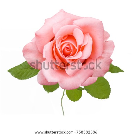 Beautiful rose isolated on white background #758382586