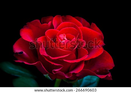 Beautiful Red Rose On Black Background Amazing Flower