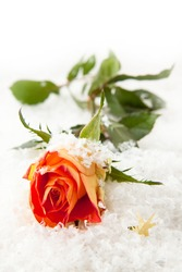 Beautiful rose on the white snow