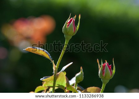 Beautiful rosebuds ready to bloom at Merrick Rose Garden in Evanston, Illinois #1133286938