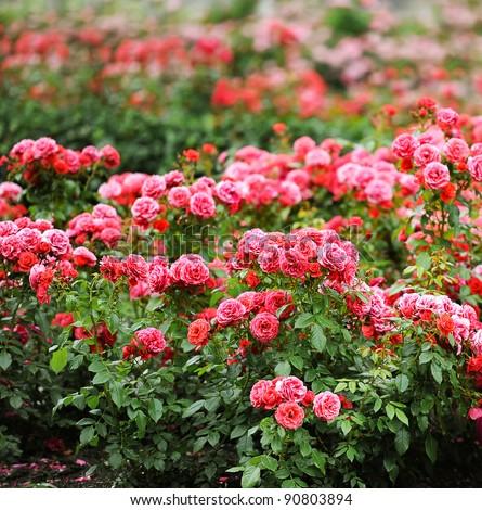 beautiful roses garden #90803894