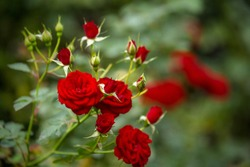 Beautiful roses in garden, roses for Valentine Day.