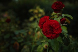 Beautiful roses in garden, roses for Valentine Day. beautiful deep dark colors, hipster or Vintage tones