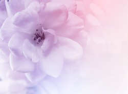 beautiful roses in soft color and blur style for background