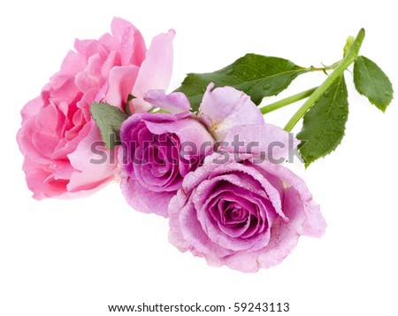 beautiful roses isolated on a white background