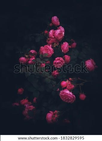 Beautiful roses on dark background. Rosa Damascena or Damask rose. Lush bush of pink roses with dark vignette. Romantic luxury background or wallpaper.Rosa Damascena