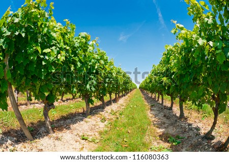 Beautiful rows of grapes before harvesting, France