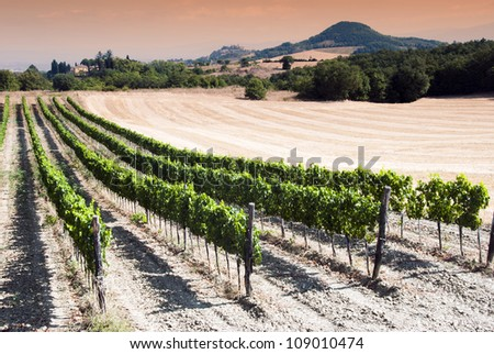 Beautiful rows of grapes in a vineyard in Tuscany at the sunset time - Val d'Orcia  - Italy