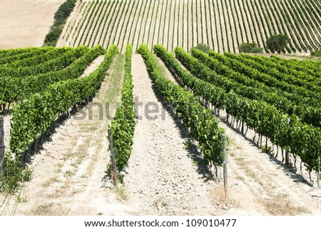 Beautiful rows of grapes in a vineyard in Tuscany - Val d'Orcia  - Italy