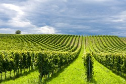 Beautiful rows of grapes in summertime