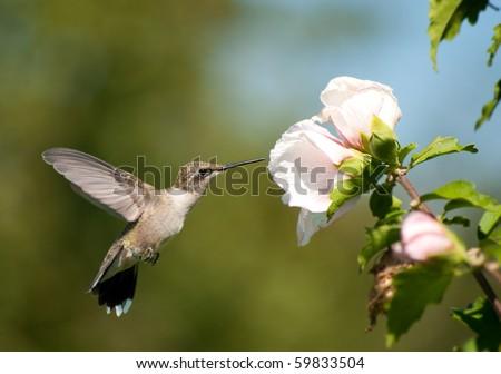 stock-photo-beautiful-ruby-throated-hummingbird-feeding-on-a-light-pink-althea-flower-59833504.jpg