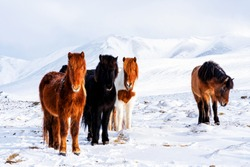 Beautiful, rugged and tough Icelandic horses in winter, Iceland