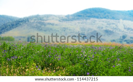 Beautiful rural field with alfalfa flowers, on a bright autumn day