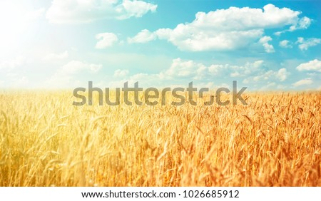 Beautiful rural landscape wheat field