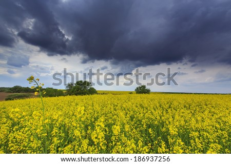 Beautiful rural scenery with canola fields, ominous stormy sky and heavy winds