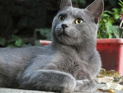 Beautiful Russian blue cat lying in the yard and resting,Russian Blue cat,photography