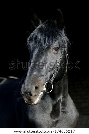 Beautiful Russian purebred black stallion portrait