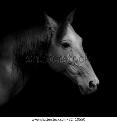 "Beautiful Russian trotter named Rur, borned in Pskov stud farm, prize winner of the St. Petersburg International Horse Exhibition ""Ipposphere"". Black and white portrait."
