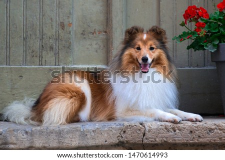 Beautiful sable white sheltie lies near vintage door on the renovated stairs on the paving stone street of old city town. Shetland sheepdog, lassie, little collie smiling near big pot with flowers #1470614993