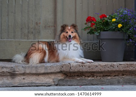 Beautiful sable white sheltie lies near vintage door on the renovated stairs on the paving stone street of old city town. Shetland sheepdog, lassie, little collie smiling near big pot with flowers #1470614999