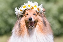 Beautiful sable white shetland sheepdog, small collie lassie dog outside portrait with poppy and chamomile midsummer circlet of flowers. Happy midsummer celebration postcard with smiling sheltie