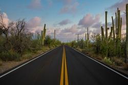 Beautiful Saguaro cactus along Kinney Road at sunset in Arizona