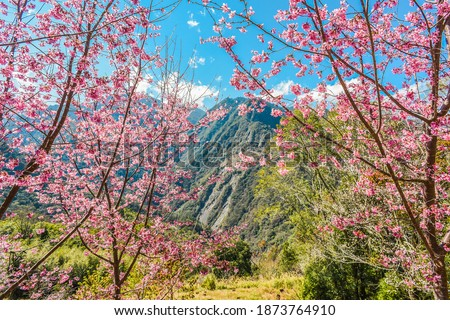 Beautiful Sakura Blooming On The Trail To The Divine Tree Zone (Giant Tree Forest) Of Smangus Tribe (Qalang Smangus, The Tribe of God), Jianshi, Hsinchu, Taiwan