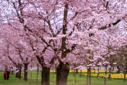 Beautiful Sakura Cherry blossoming alley. Wonderful scenic park with rows of blossoming cherry sakura trees and green lawn in springtime, Germany. Pink flowers of cherry tree.