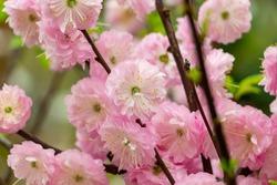 Beautiful sakura flower blooming in the garden