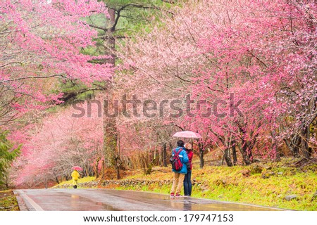 Beautiful Sakura Garden in Wuling Farm Taiwan