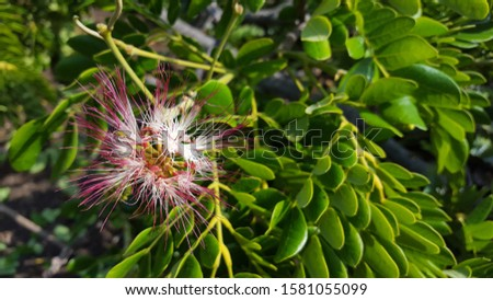 Beautiful Samanea Saman flower with pink color. Rain tree which is a source of water storage Stok fotoğraf ©