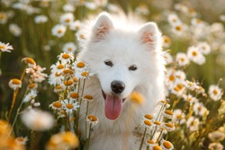 Beautiful Samoyed Laika in daisies. Funny Young Happy Smiling White Samoyed Dog Or Bjelkier, Playful Pet Outdoors.