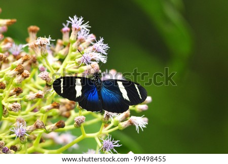 Beautiful Sara Longwing (Heliconius sara magdalena) butterfly feeding in some wild flowers
