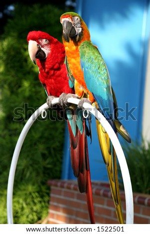 Beautiful scarlet macaw and blue and gold macaw standing next to each other on a perch in the outdoors